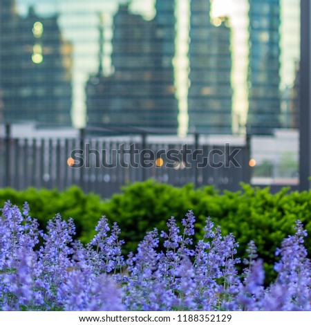 Lavender in the foreground with building reflections in the background #1188352129