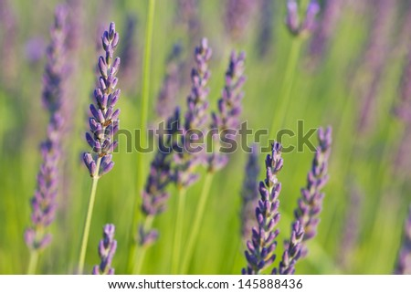 lavender in the sunlight