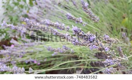 Lavender in the sunshine. #748483582