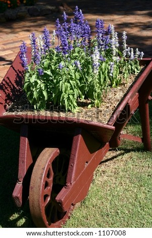 lavender in wooden wheelbarrow in garden