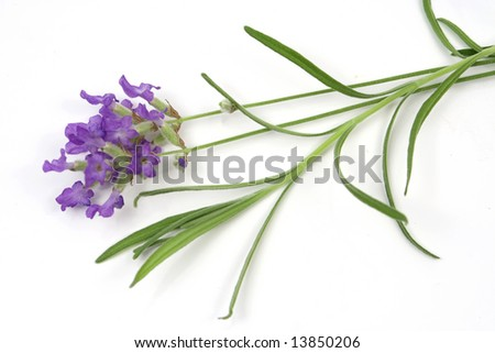 Lavender (lat. Lavandula officinalis) isolated on white