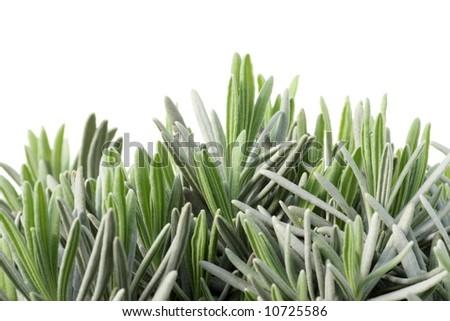 lavender-leaves, on white