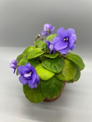 Lavender pansy blooms. Bashou Trailing African Violet. Purple Trail African Violet. Bashou saintpaulia. Houseplants