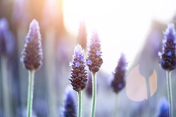 Lavender plant field. Lavandula angustifolia flower. Blooming violet wild flowers background with copy space. Selective focus. Blossom and magic spring concept
