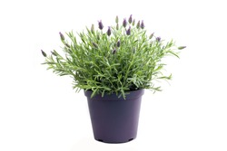 Lavender plant isolated on white background