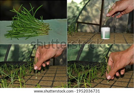 Lavender propagation in four steps.Preparation of cuttings from fresh shoots.Rooting hormone treatment.Getting hormone-treated cuttings into the sand.The cuttings are placed in a propagation tray. Foto stock ©