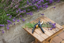 lavender seasonal pruning, bunch of cut lavender and pruning shears against a backdrop of flowering lavender bushes. Gardening concept