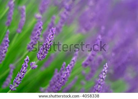 Lavender (shallow focus)