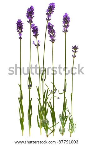 Lavender stem isolated on white background
