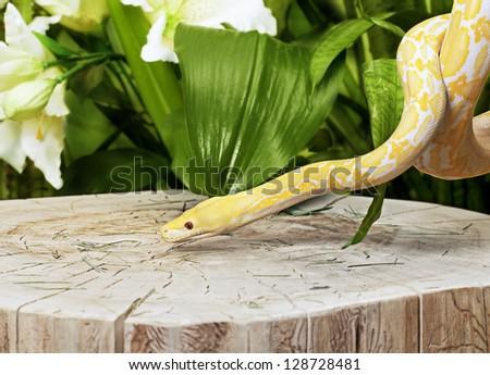 Lavender Tiger Albino python snake on old stump