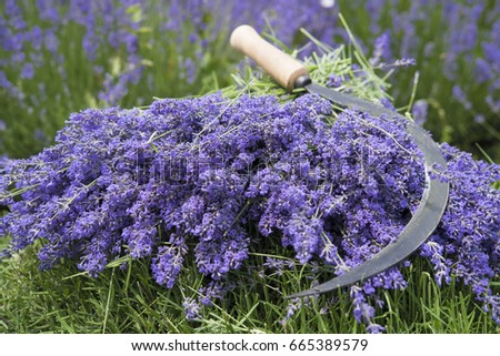 Lavender twigs and the sickle on it #665389579