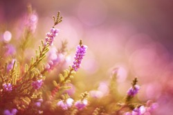 Lavender. Vibrant pink common heather (Calluna vulgaris) blossoming outdoors. Amazing view with z beautiful bokeh and light in background. Botanical photo.
