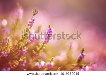 Lavender. Vibrant pink common heather (Calluna vulgaris) blossoming outdoors. Amazing view with z beautiful bokeh and light in background. Botanical photo. #1019332015