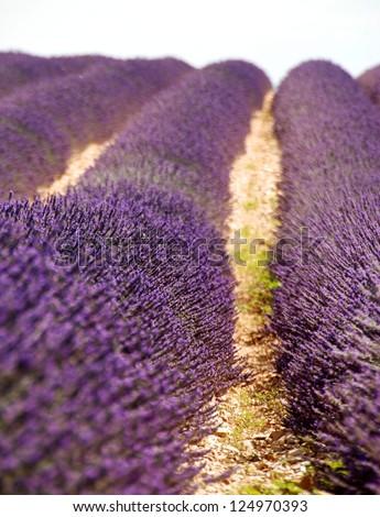 Lavender, Violet lavender field, close up, Provence. South of France. Summer background, blossom lavender, lavender field, blue lavender, smell of lavender