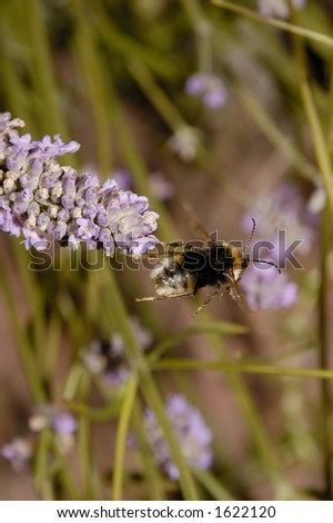 lavender with bumble bee - stock photo