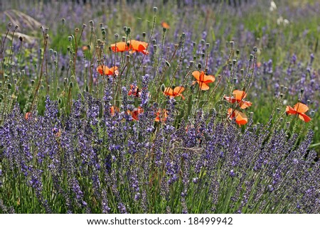 Lavender with poppies near Senanque, Luberon, Provence, Southern France