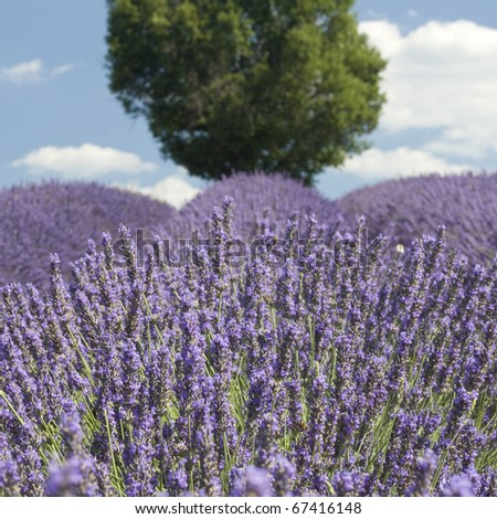 Lavender with Tree. Provence.