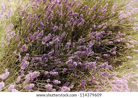Lavenders closeup with blur background