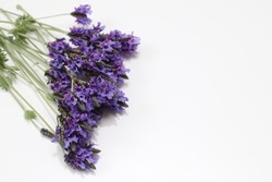 lavenders in a white background