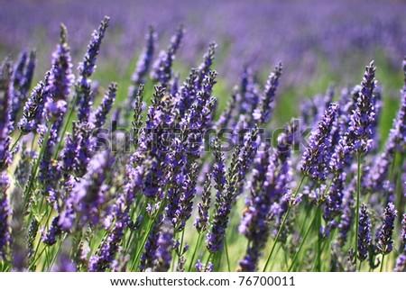Lavendula - Impressions of the Provence