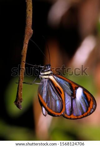 Lavinia Clearwing (Hypoleria lavinia) Butterfly. Tambopata, Amazon Rainforest, Peru #1568124706
