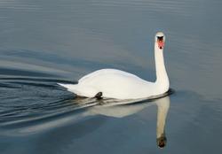 Lavish and beautiful swan floating on the lake