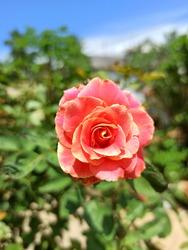 Lavishly Elegant Flower on Beautiful Summer
