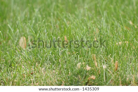Lawn with maple tree seeds throughout