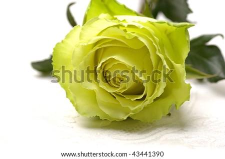 lay down light yellow rose
