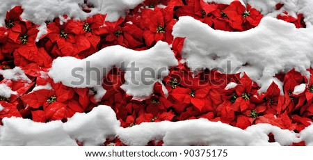 layers of snow on bright poinsettias