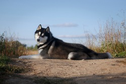 Laying adorable fleecy grey and white dog of siberian husky breed looking at us on a summer hill