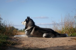 Laying beautiful relaxed fleecy grey and white dog of siberian husky breed in the summer outdoors