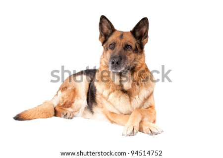 laying German sheepdog isolated over white background