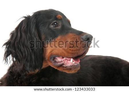 Laying Gordon Setter dog in the studio