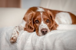 Laying happy dog on a sofa couch at home. Purebred welsh springer spaniel healthy dog.