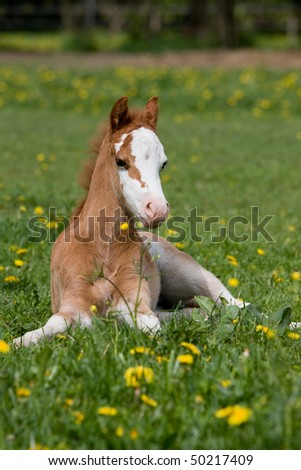 Laying nice welsh pony foal