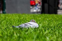 Laying pigeon on grass and enjoying sunlight