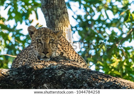 Lazy African leopard dozing in a tree.
