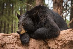 Lazy Bear on a log