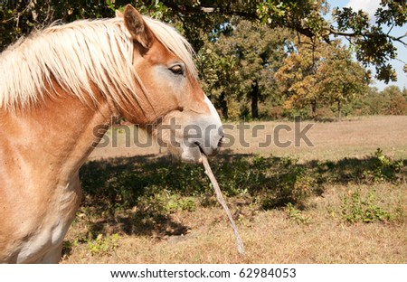 Lazy Belgian Draft horse carrying a stick, ready to get after anyone who tries to make him work