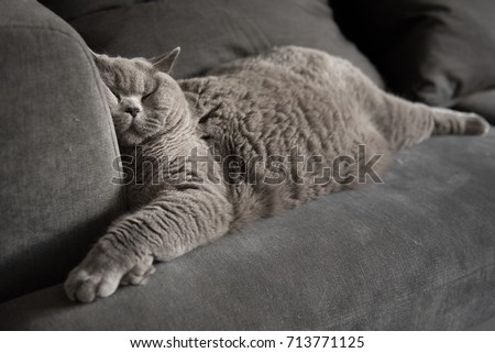 Lazy British Short Hair cat sleeping on a couch in a flat in Edinburgh, Scotland, with her face squashed as she is fully relaxed #713771125