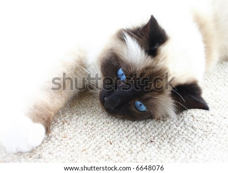 Lazy burman cat with blue eyes resting on the carpet. White background.