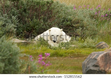 Lazy Canadian Polar Bear wallowing and sleeping in the the Arctic tundra of the Hudson Bay near Churchill, Manitoba in summer