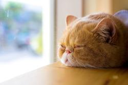 Lazy cat. Full. Asleep on the table.