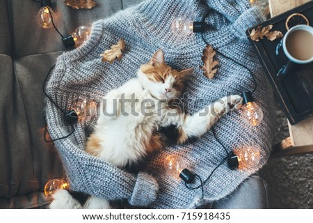 Lazy cat is sleeping on soft woolen sweater on sofa, decorated with led lights. Winter or autumn weekend concept, top view. #715918435