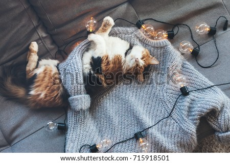 Lazy cat is sleeping on soft woolen sweater on sofa, decorated with led lights. Winter or autumn weekend concept, top view. #715918501