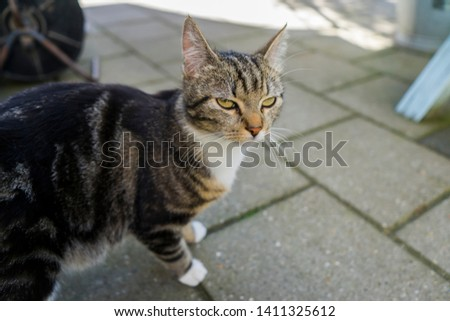 Lazy cat looking portrait with yellow eyes. Striped cat standing outside on the stones of a garden. Blurred background sharp head. #1411325612