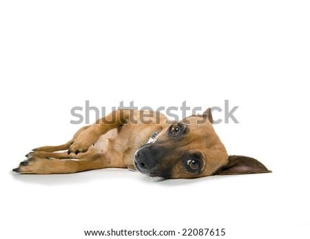 Lazy Dog isolated against white background