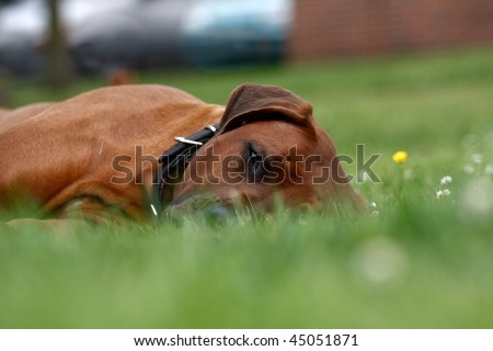 lazy dog lying down in grass