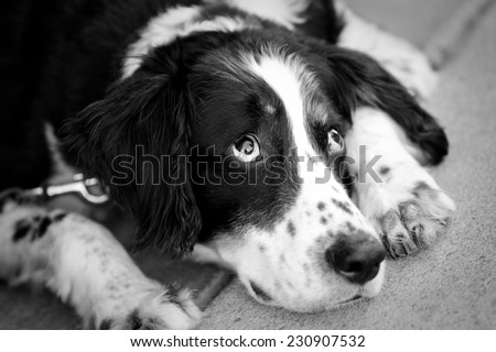 Lazy Dog - This is a black and white image of a tired old dog laying down.